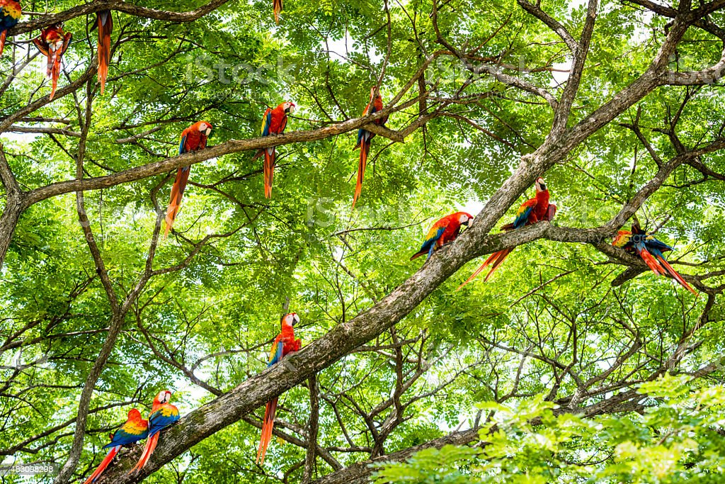 XXXL: Flock of scarlet macaws in the wild stock photo