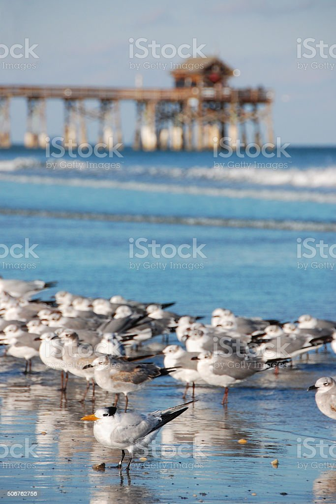 Flock of Seagulls and the Cocoa Beach Pier in Florida stock photo