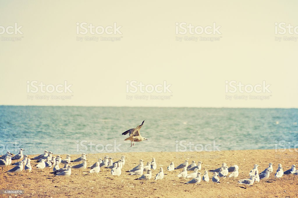 flock of seagulls on seashore with two in mid-flight royalty-free stock photo