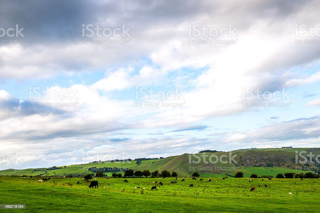 Flock of Sheep and Cows on Green Meadow stock photo