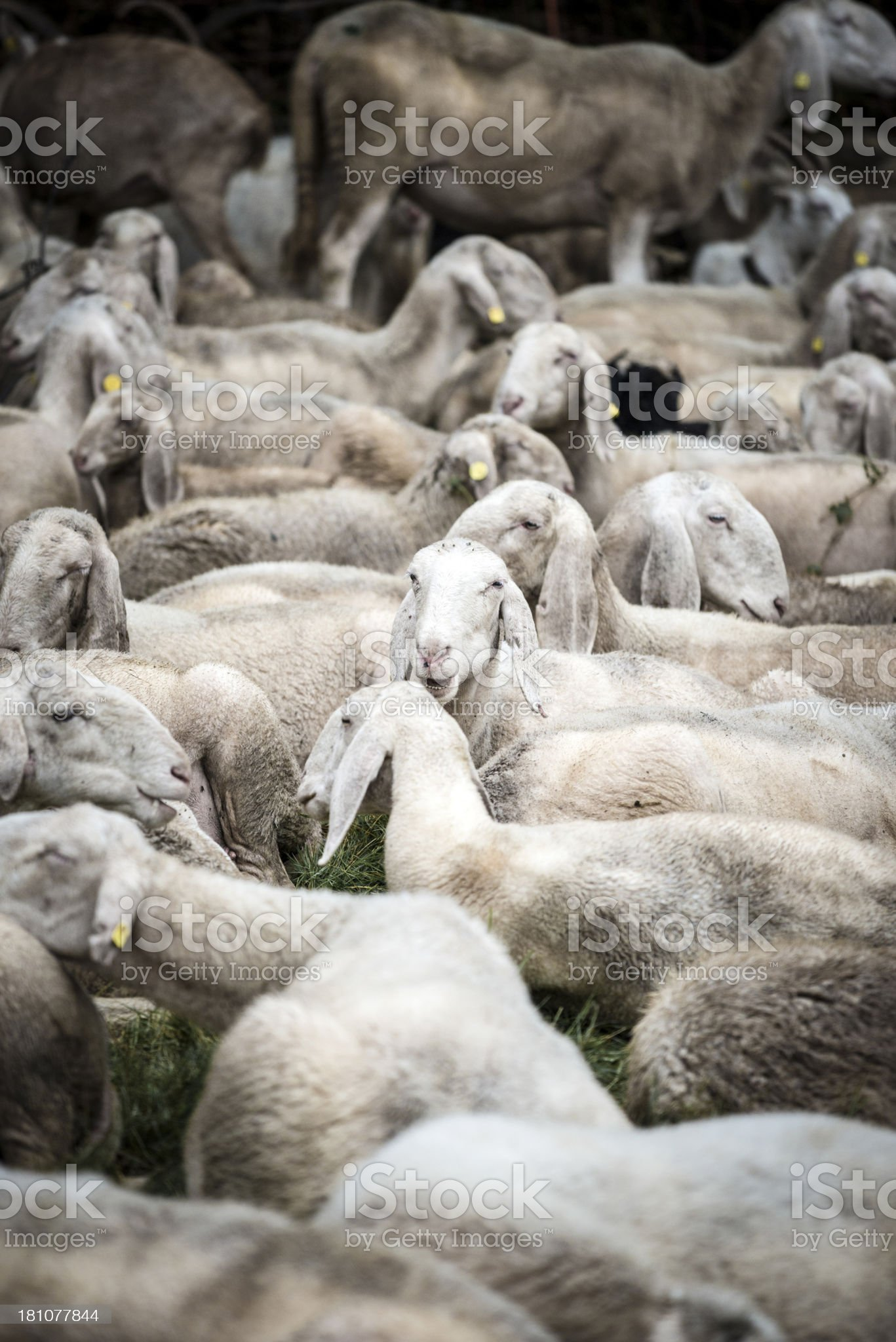Flock of sheep and goats royalty-free stock photo