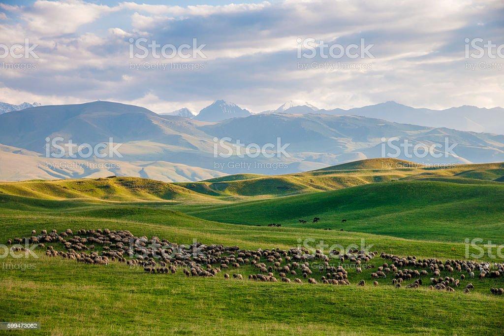 Flock of sheep at green highland meadows stock photo