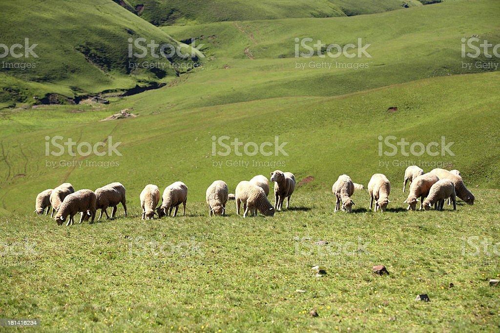 Flock of Sheep at Kunming in China royalty-free stock photo