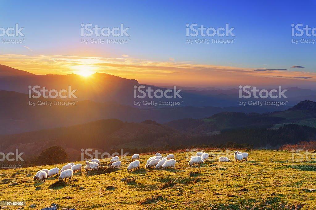 flock of sheep at sunset stock photo