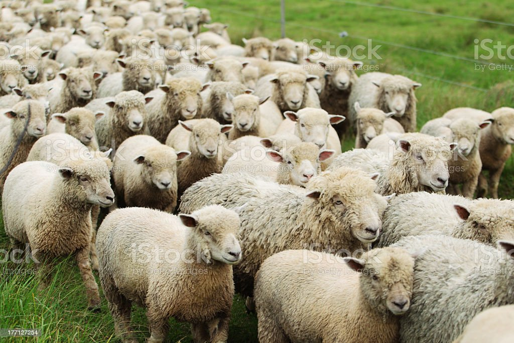 A flock of sheep being herded in a pasture stock photo