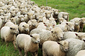 A flock of sheep being herded in a pasture