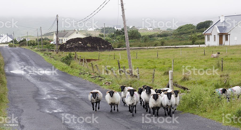 Flock of Sheep crossing Road royalty-free stock photo