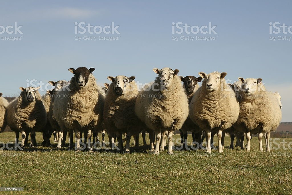 Flock of Sheep, field, Hope Valley, Derbyshire stock photo