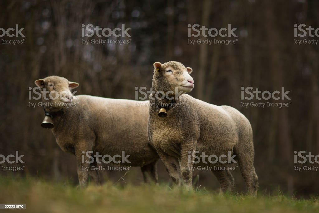 A flock of sheep grazes on a green field stock photo