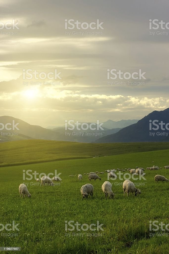 Flock of sheep grazing in a green pasture at sunrise stock photo