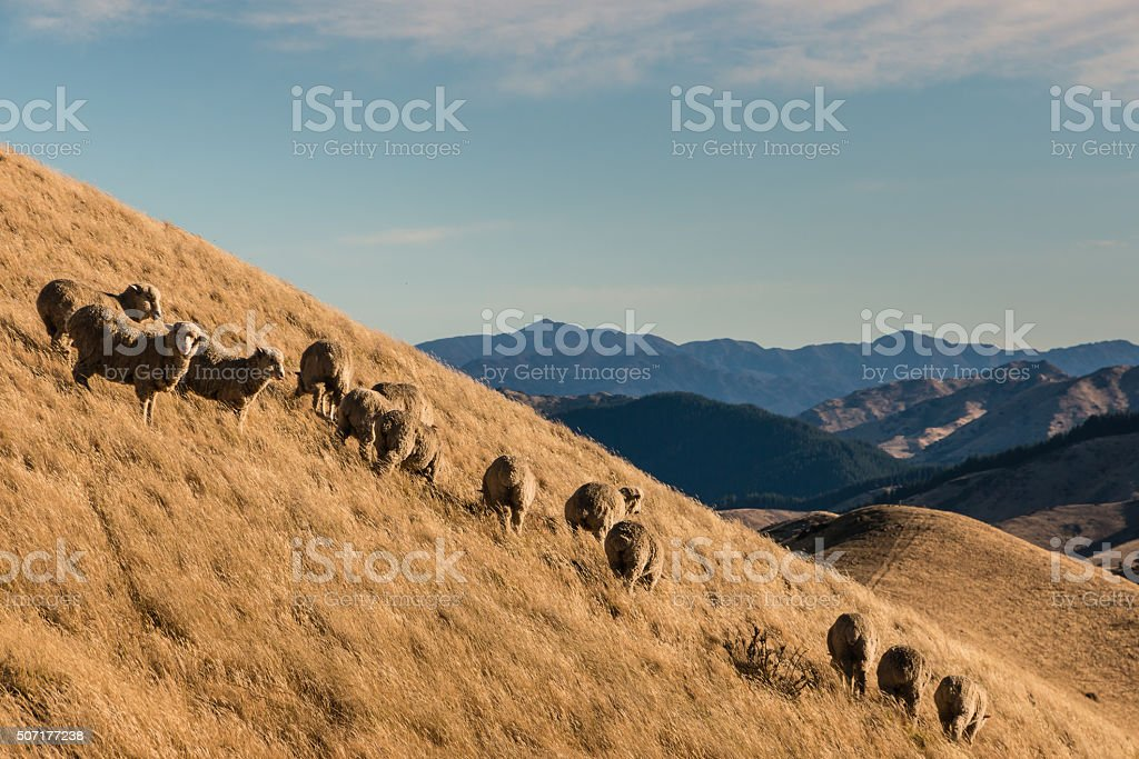 flock of sheep grazing on slope stock photo