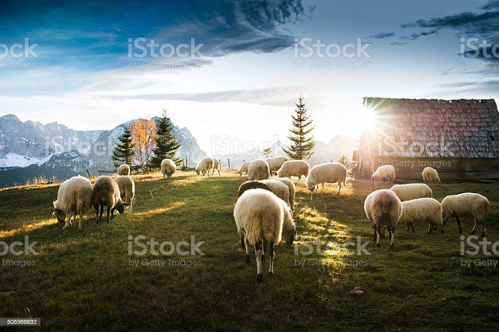 Flock of sheep grazing stock photo