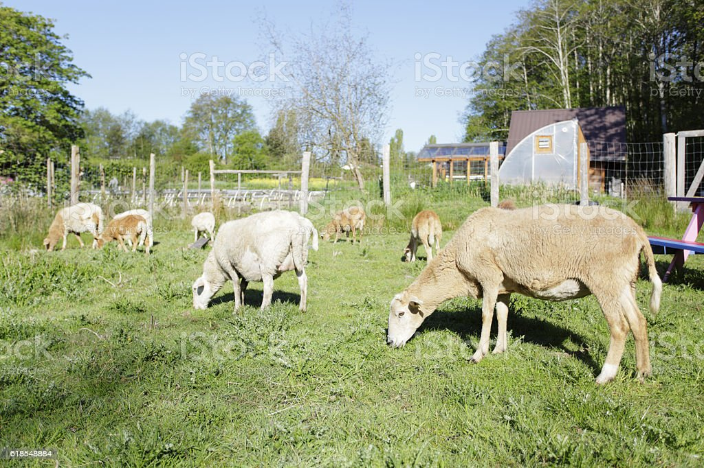 Flock of sheep in a farm stock photo