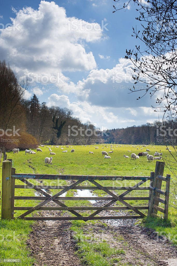 Flock of sheep in a field stock photo