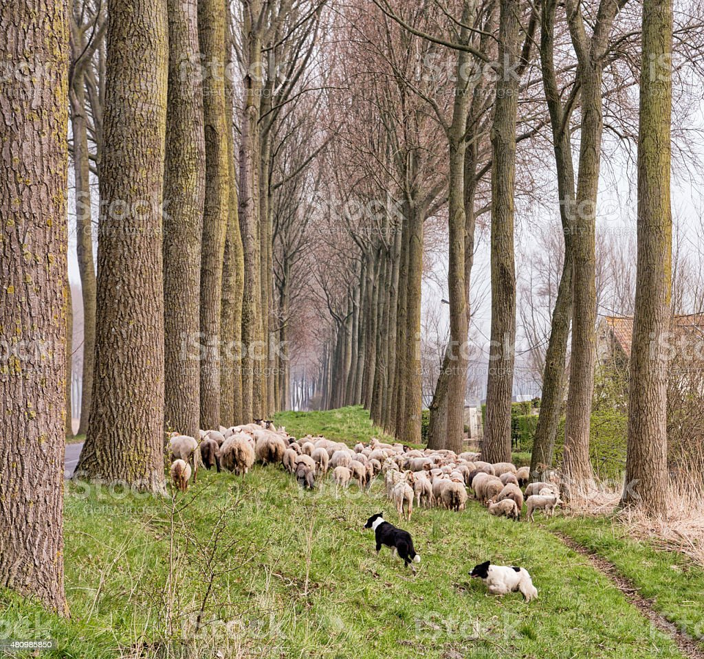 Flock of sheep in Flanders stock photo
