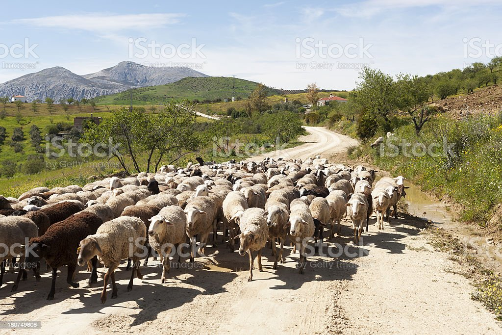 Flock of sheep in rural Andalusia royalty-free stock photo