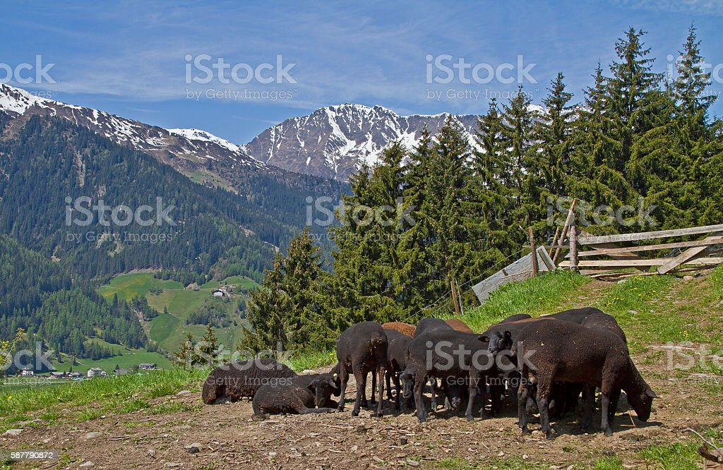 Flock of sheep in South Tyrol stock photo