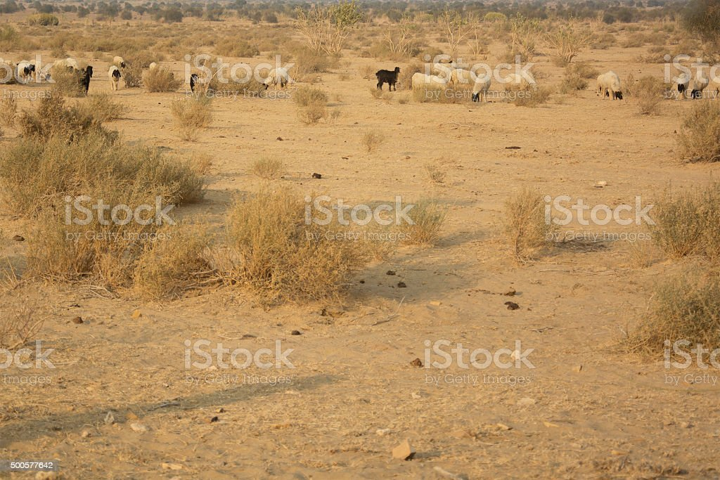 Flock of sheep in the desert stock photo