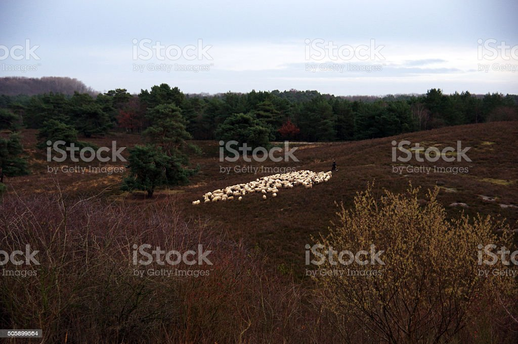 Flock of sheep in the heathland stock photo