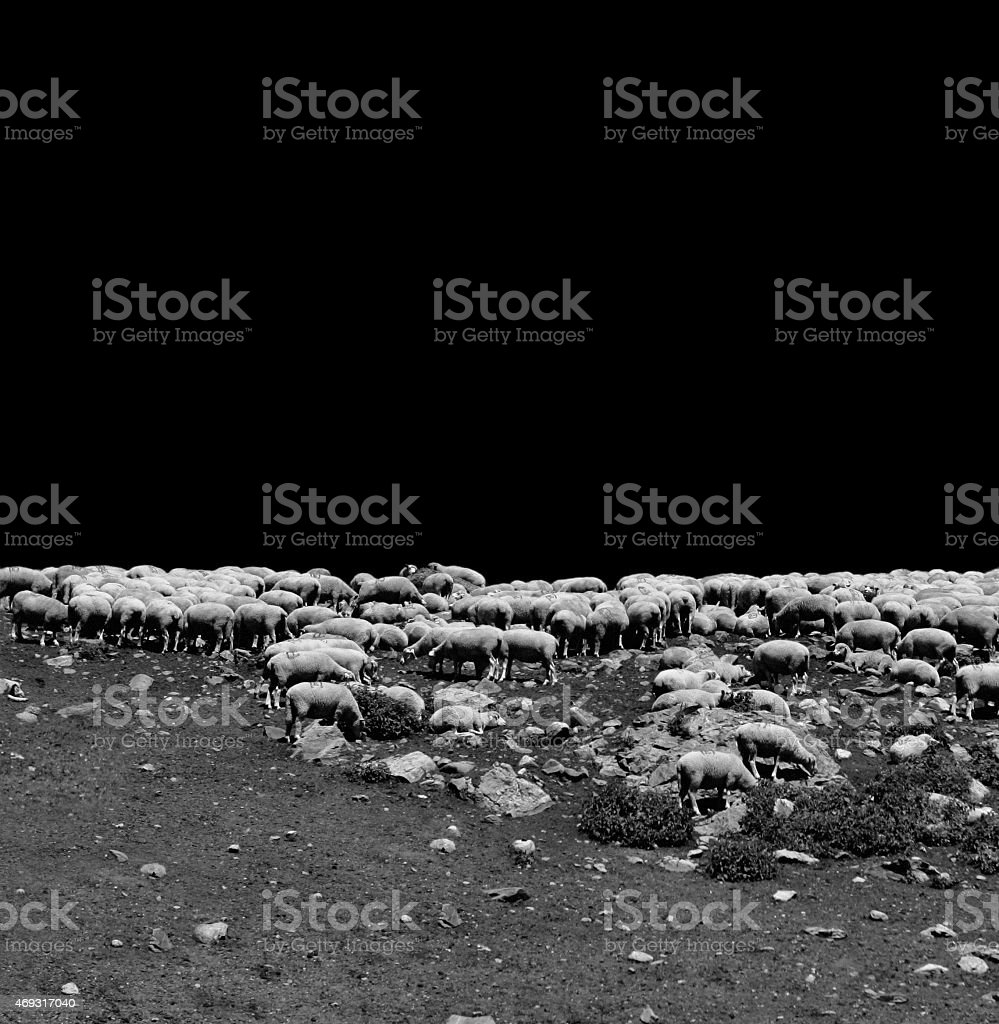 flock of sheep in the pasture royalty-free stock photo