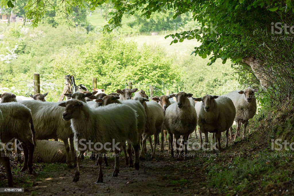 Flock of sheep in the shade of trees. stock photo