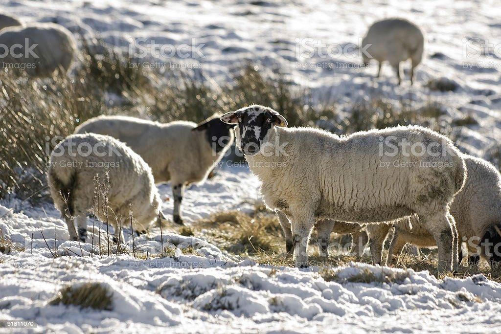 Отара овец в зимний Стоковые фото Стоковая фотография