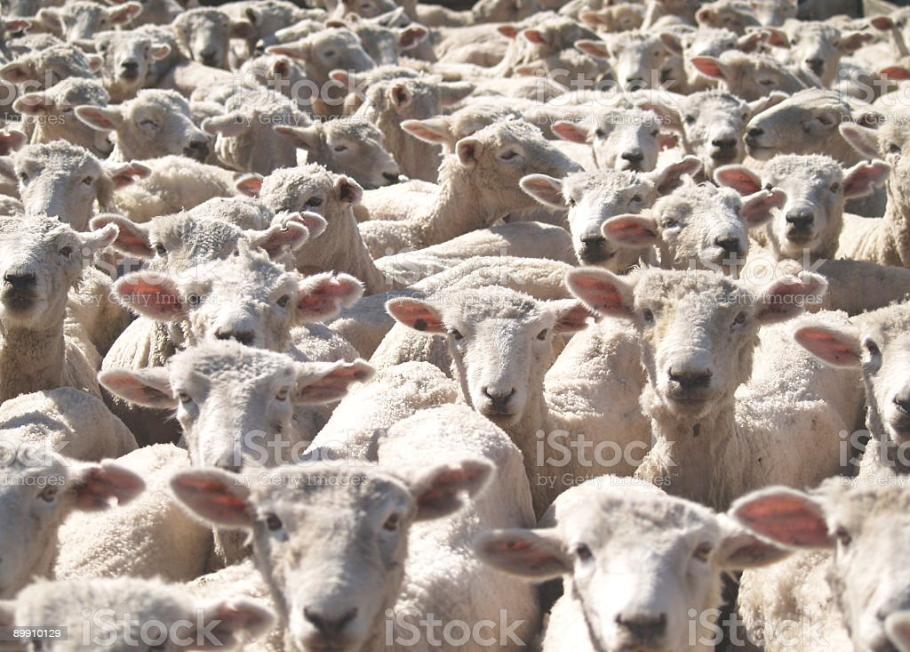 Flock of sheep looking at the picture stock photo