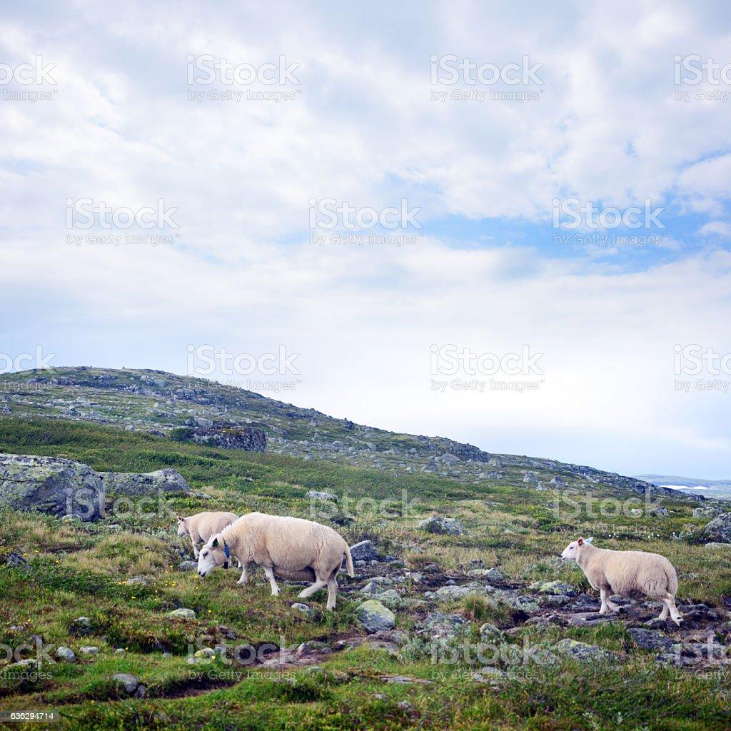 Flock Of Sheep, Norway stock photo