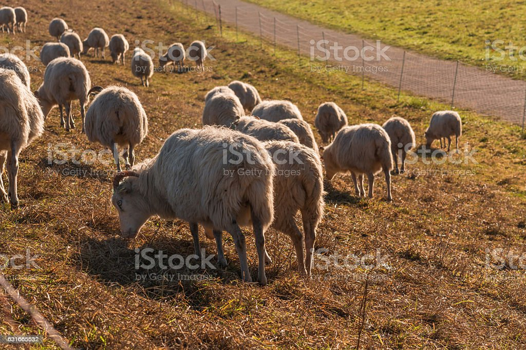 Flock of sheep on a dyke. stock photo