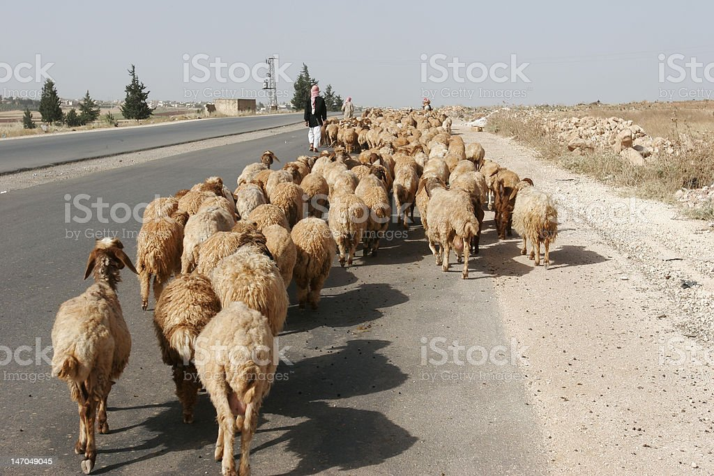 Flock of Sheep on a Syrian Highway royalty-free stock photo