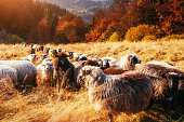 flock of sheep on beautiful mountain meadow