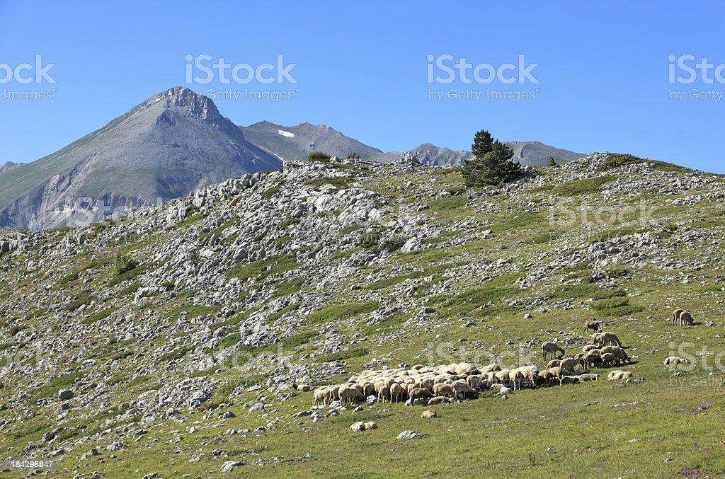 Flock of sheep on Campo Imperatore, Abruzzi Italy royalty-free stock photo