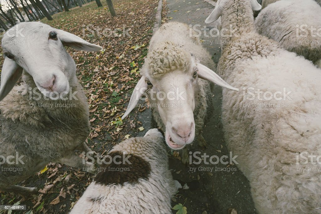 Flock of sheep on farm close up. High angle. stock photo