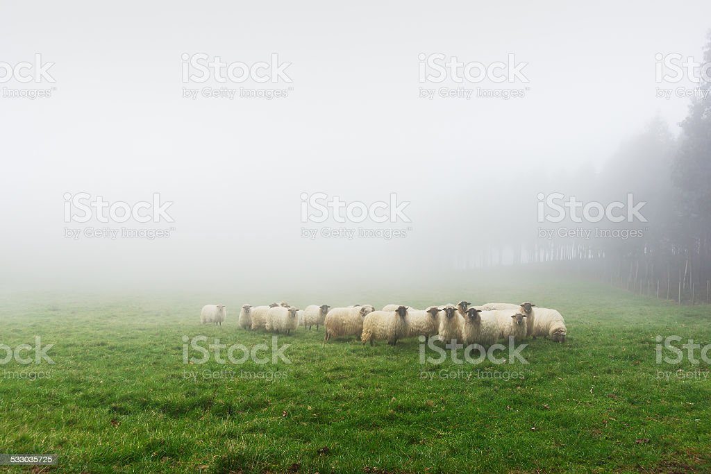 flock of sheep on foggy day stock photo