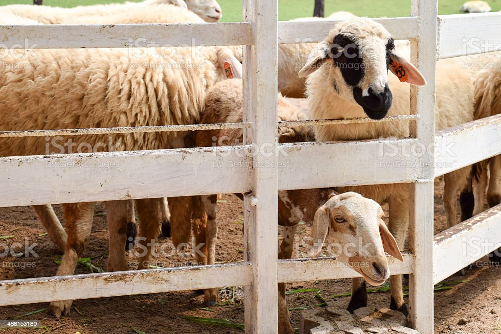 flock of sheep on green grass stock photo