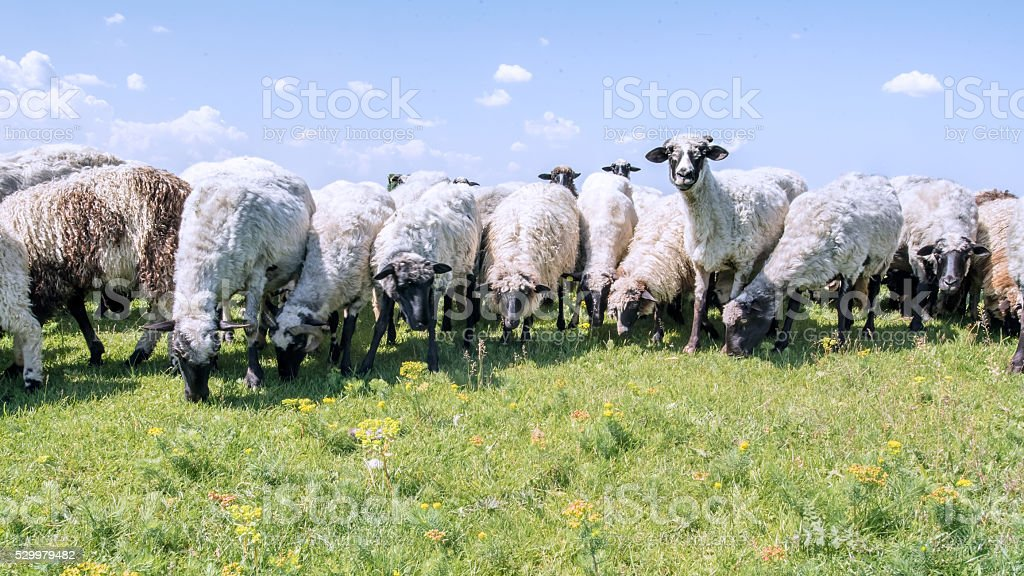 Flock of Sheep on the Meadow stock photo