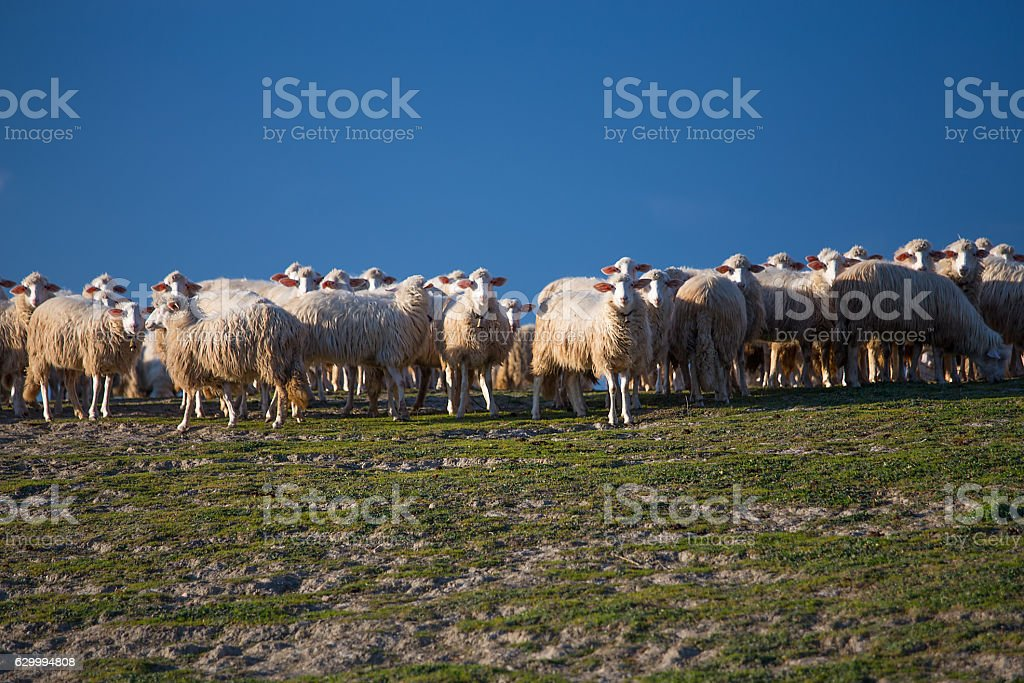 Flock of sheep on the pasture stock photo