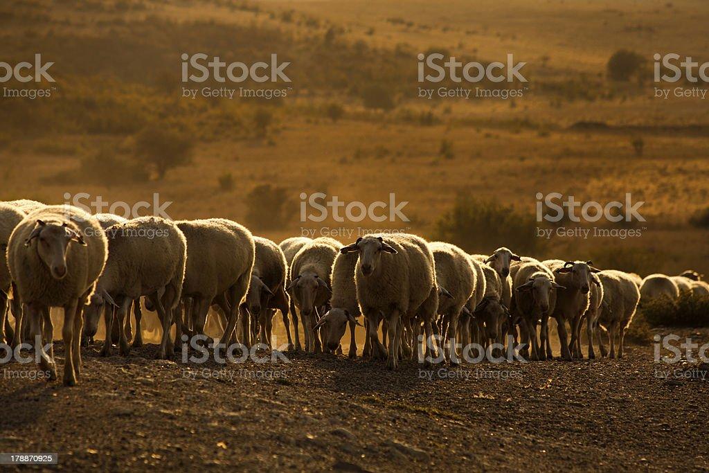 flock of sheep royalty-free stock photo