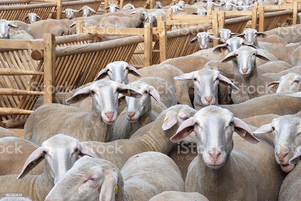Flock of sheep stock photo