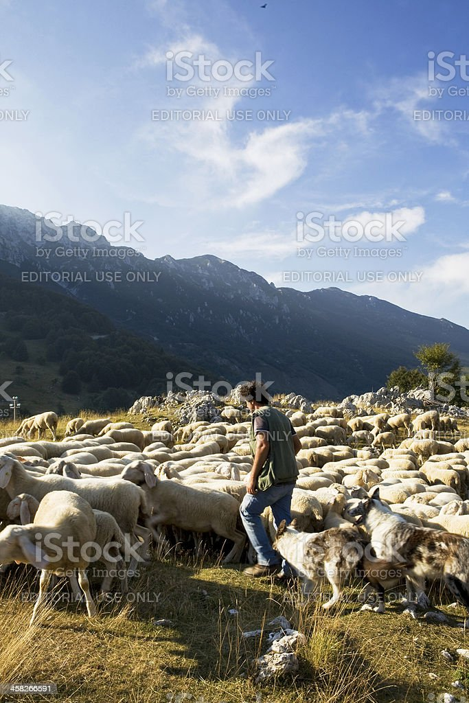 flock of sheep royalty-free stock photo