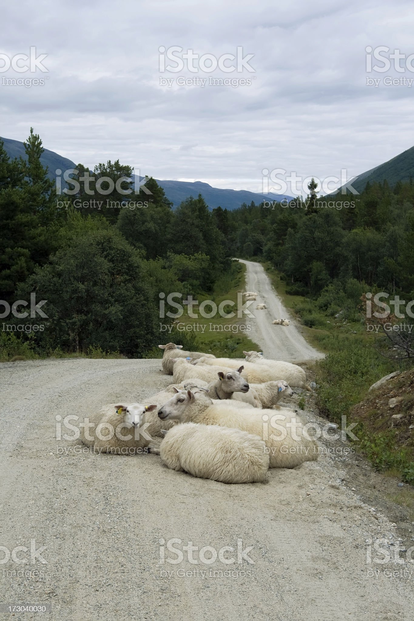 Flock of sheep resting on road in Norwegian mountains. royalty-free stock photo
