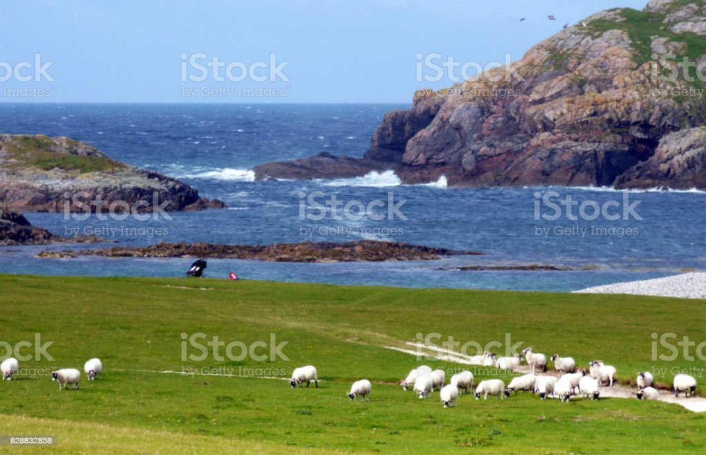 A Flock of Sheep Share the Golf Course on the Atlantic Side of the Isle of Iona, Scotland stock photo