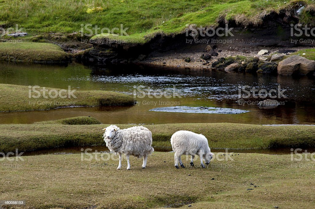 Flock of sheep, Shetland Islands royalty-free stock photo