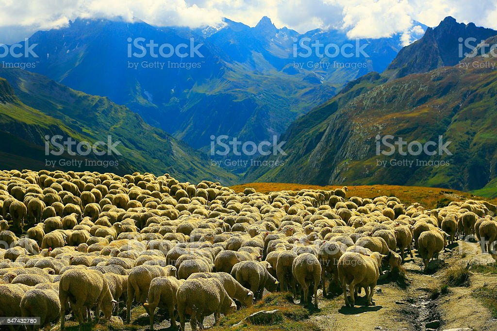 Flock of sheeps herd going down Aosta valley, Mont Blanc stock photo