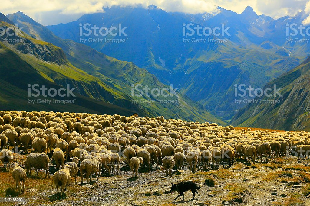 Flock of sheeps herds going down Aosta valley, Mont Blanc stock photo