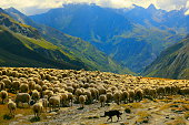 Flock of sheeps herds going down Aosta valley, Mont Blanc