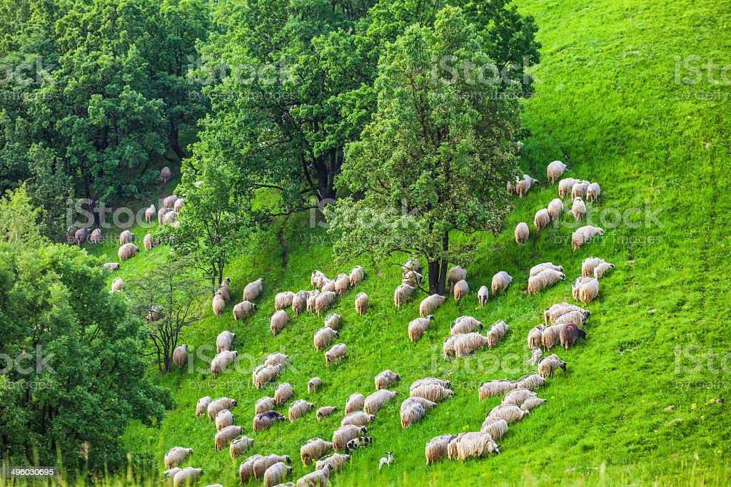 Flock of sheeps in hills royalty-free stock photo