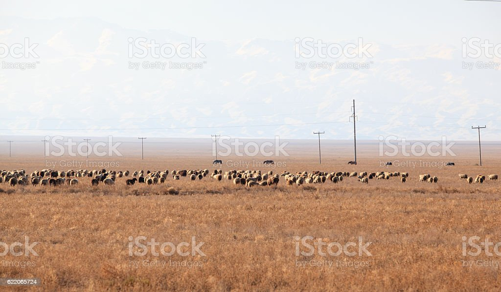 Flock of sheeps in Kazakhstan on Tien Shan mountains background stock photo