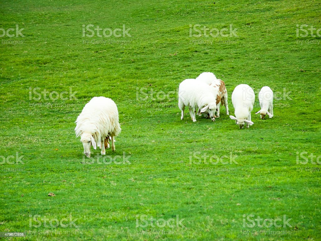 Flock of sheeps on the meadow royalty-free stock photo