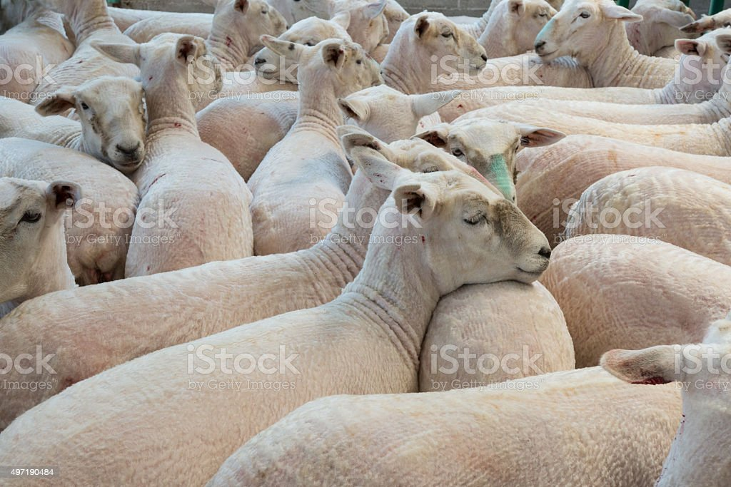 Flock of shorn sheep in a temporary paddock after shearing stock photo